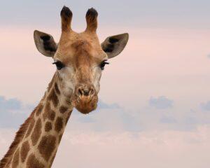 Geweldloze communicatie - Giraffe oren